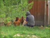 Heritage Breed Chantecler Chickens.jpg