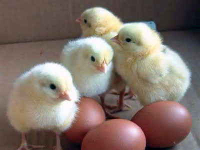 chappell-farms-chicks.jpg