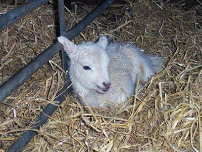 chappell-farms-lamb.jpg