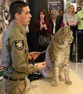 Lynx Toskay Carl.jpg