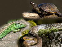 Reptilia-snake.jpg